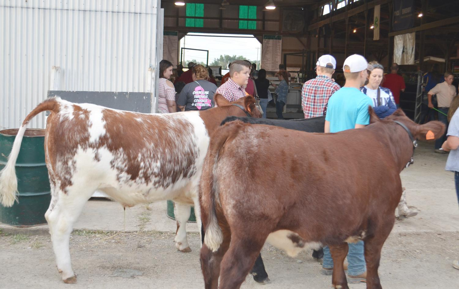 Local 4-H participants line up to take their animals to the Monroe County Junior Livestock Sale. This year's sale was canceled due to COVID-19, but a new group, Monroe County For Kids stepped forward to create a sale. The sale will be held Thursday, Aug. 27 at Grizzle Ridge Arena in Jerusalem.